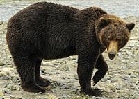Female Grizzly Front Paw up Katmai National Park Alaska.