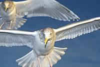 Herring gull (Larus argentatus) flying against blue sky, close up, Lauvsness, Flatanger, Norway.