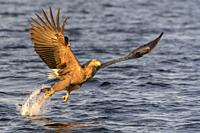 White-tailed sea eagle (Haliaeetus albicilla) in flight, hunting and catching fish, Flatanger, Norway.