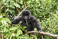 Mountain gorilla (Gorilla beringei) young baby - 2 yeras old - in tree, feeding on vegetation, member of the Nyakagezi group, Mgahinga National Park, ...