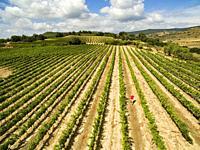Vineyard in Dicastillo. Navarre. Spain.
