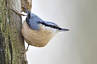 Eurasian Nuthatch / Europaeischer Kleiber ( Sitta europaea ) perched at a rotten oak tree trunk, watching around, in typical pose, wildlife, Europe.