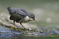 White throated Dipper ( Cinclus cinclus ), fledged chick, standing on a rock in a river, searching for food, getting independent, wildlife, Europe.