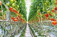 Looking down row of hydroponically grown tomatoes in greenhouse, Kutno, ŠódŠº Voivodeship, Poland.