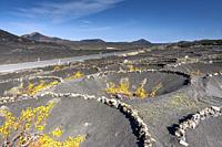 The typical Malvasia of the volcanic island. La Geria, Lanzarote. Spain.