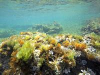 Mediterranean underwater seaweed Denia Alicante spain.