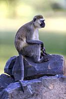 Vervet monkey sitting on stones in Great Rift Valley, Kenya.