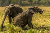 African Elephants having a mud bath in Masai Mara.