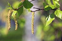 Birch tree (Betula) blossoms or catkins and green leaves in the spring. Birch pollen allergy is a common seasonal allergy.