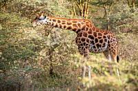 A Rothschild's giraffe (Giraffa camelopardalis rothschildi) eating from a tree in Nakuru National Park, Kenya.