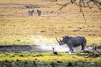 White rhinoceros or square-lipped rhinoceros (Ceratotherium simum)Nakuru National Park, Kenya.