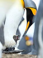 Chick begging for food, while resting on the feet of a parent. King Penguin (Aptenodytes patagonicus) on the Falkland Islands in the South Atlantic. S...