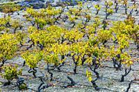 Vineyards in autumn. Cenicero village. La Rioja, Spain, Europe.