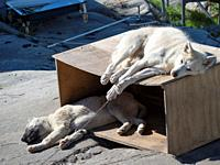 Sled dogs in the town Uummannaq in the north of west greenland. The dogs are still used to pull sleds for the local fishermen during winter. The town ...
