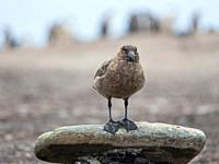 Falkland Skua or Brown Skua (Stercorarius antarcticus, exact taxonomy is under dispute). They are the great skuas of the southern polar and subpolar r...