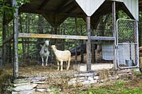 Domestic tan and white goats being kept in a pen in residential backyard in early summer