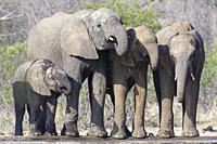 African bush elephants (Loxodonta africana), elephant calves with baby, drinking at a waterhole, Kruger National Park, South Africa, Africa.