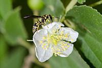 Solitary Potter Wasp (aka Mason Wasp, Gribodia sp, Eumeninae sub-Family, Vespidae Family) on flower, Klungkung, Bali, Indonesia.