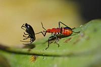 True Bug (Dindymus sp, Pyrrhocoridae Family, Heteroptera Suborder, Hemiptera Order) on leaf with prey (Weevil, Coleoptera Order, Curculionoidea Family...