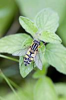 Helophilus trivittatus, a migratory hoverfly, is widespread in Palaearctic ecozone of Asia, in Europe and in North America. Active: May -October with ...