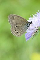 Ringlet, Aphantopus hyperantus. Dusky brown butterfly with six yellow-rimmed eye-spots that are paired. Wingspan: 35-42mm. Larval food plant: Arrhenat...