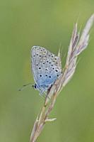 Idas Blue, Plebejus idas, Lycaeides idas. Blue butterfly with blue eyespots on the upper edge back wing. Larval plants include: Cytisus, Genista, Meli...