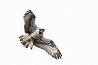 An osprey in flight over Forellenhof Trauntal.
