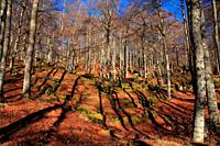 Beech in autumn on the route of Los Montañeros. Natural park Urbasa y Andía. Navarra.