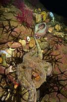 Mating of common Octopus (Octopus vulgaris). Eastern Atlantic. Galicia. Spain. Europe.