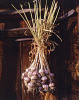 Poland. Garlic