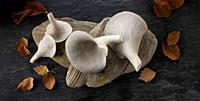 Fresh picked edible grey oyster mushrooms (Pleurotus).