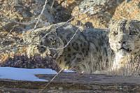 Asie, Mongolie, Ouest de la Mongolie, Montagnes de l'Altai, Panthère des neiges ou Léopard des neiges, Once ou Irbis (Panthera uncia), sur des rochers...