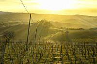 View over the vineyards in the hills of the Langhe in Piedmont Italy illuminated by the warm light of the setting sun, with backlighting.