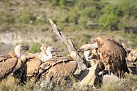 Griffon Vultures (Gyps fulvus) interacting. Lleida province. Catalonia. Spain.