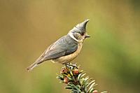 Grey crested tit, Lophophanes dichrous, Singalila National Park, Darjeeling, West Bengal, India.