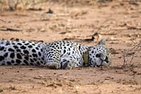 Resting male leopard, Okonjima Nature Reserve, Namibia
