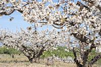 Field of almond blossoms. Tivissa, Catalonia, Spain