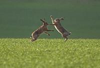 Brown Hares- Lepus europaeus box. Spring. Uk.