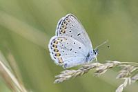 Reverdin's Blue, Plebejus argyrognomon. Startling blue butterfly with blue eyespots iver the orange uncials on the hindwing. Wings flash from cobalt b...