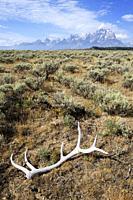 Elk (Cervus canadensis) antlers lying on Antelope flats in front of Teton range, Grand Teton national park, Wyoming, USA.