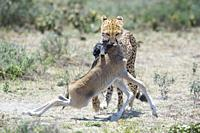 Cheetah (Acinonyx jubatus) walking with a just killed wildebeest (Connochaetes taurinus) calf in mouth, Ngorongoro conservation area, Tanzania.
