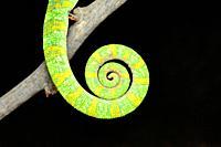 Closeup of tail of Indian chameleon, Chamaeleo zeylanicus tail, Satara, Maharashtra, India.