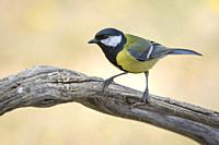 Great tit (Parus major) on a branch at dawn, Extremadura, Spain.