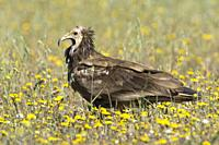 Egyptian vulture (Neophron percnopterus), among flowers in a meadow in Extremadura, Spain.
