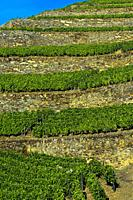 Terraced vineyard on dry stone walls on a steep slope, vineyard Hell Valley, Vale do Inferno, Quinta de la Rosa Winery, Pinhao, Douro Valley, Portugal...