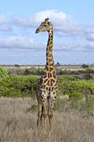 South African giraffe (Giraffa camelopardalis giraffa), adult male standing in the dry grassland, Kruger National Park, South Africa, Africa.