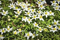 Detail view of wood anemones.