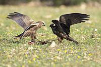 Western marsh harrier (Circus aeruginosus) and Black kite (Milvus migrans) fighting over food, Extremadura, Spain.