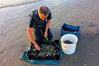Shrimper sorting catch from shrimp drag net on the beach caught along the North Sea coast