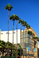A line of palm trees grace Wilshire Boulevard in Los Angeles.